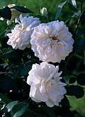 Rosa 'Lions-Rose' - Floribundarose