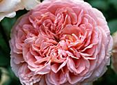 Rosa 'Abraham Darby' - Englische Rose
