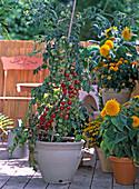 Cherrytomate 'Dolce Vita'