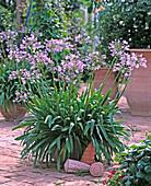 Agapanthus africanus (Schmucklilie)