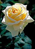 Rosa 'Ambiente' - Edelrose