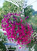 Petunia Surfinia 'Purple Wave' u. 'Blue Wave'
