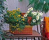 Kasten mit Tagetes tenuifolia (Studentenblume)