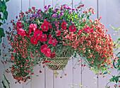 Diascia barbarae, Flying Colors Apricot 'Diastina', Petunia