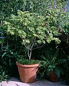 Acer japonicum Aconitifolium - Japanischer Feuerahorn