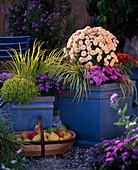 Blau glasierte Töpfe mit Chrysanthemum salm-rosa, Carex hachijoensis 'Evergold',