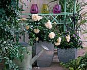 Rosa 'Ambiente', Edelrose, öfterblühend, guter Teehybriden-
