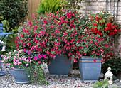 Fuchsia-Hybr. rot-rosa, einfach, Impatiens walleriana 'Double'