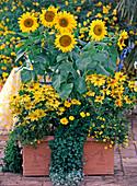 Helianthus annuus / Sonnenblume, Mecardonia 'Goldflake',