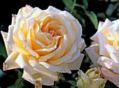 Rosa 'Ambiente'