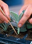 Stecklingsvermehrung von Salvia officinalis 'Berggarten'/ Salbei