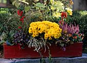 Bergenia cordifolia / Bergenie, Gaultheria 'Winter Pearls' / Scheinbeere, Pyraca