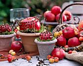 Apfeldeko: Malus / Äpfel und Zieräpfel gespickt mit Gewürznelken