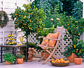 Citrofortunella microcarpa / Calamondinorange, Citrus myrtifolia