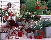 Balkon rot / weiß: Hibiscus, Salvia rutilans / Ananassalbei, Capsicum / Zierpaprika, P