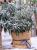 Rhododendron mit Kokosmatte als Wurzelschutz.