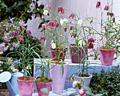 Fritillaria meleagris / Schachbrettblumen