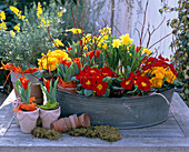 Zinkschale mit Primula acaulis / Frühlingsprimeln, Narcissus / Nar-