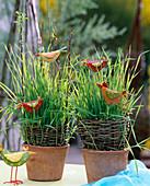 Ostergras aus Weizen, ausgesät in Töpfen mit Salix / Weide,