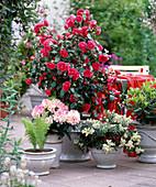 Camellia 'Flame' / Kamelie, Rhododendron yakushimanum, Pieris