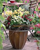 Bellis / Tausendschön, Tulipa 'Violacea Black Base' / Tulpe, Iberis