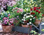 Bellis / Tausendschön, rot,weiß, rosa, Viola 'Valentine'