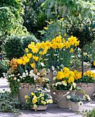 Narcissus / Narzissen, Tulipa / Tulpen, Primula / Primeln