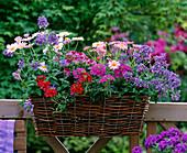 Nemesia 'Blue' / Elfenspiegel, Argyranthemum 'Pink' / Margerite,