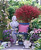 Cytisus 'Boskoop Ruby' / Ginster, Clematis montana 'Rubens'