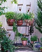 Salvia / Salbei, Thymus / Zitronenthymian, Allium schoenoprasum