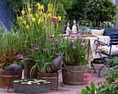 Iris pseudacorus / Sumpfiris, Iris sibirica / Sibirische Schwertlilie