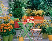 Rudbeckia 'Marmelade', 'Goldilocks', 'Praire Sun' / Sonnenhut, Bidens