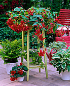 Begonia tuberhybrida 'Panorama Scharlach' / rote Hängebegonie,
