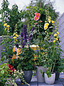 Delphinium / Rittersporn, Alcea ficifolia und rosea Pleniflora