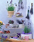 Lavandula / Lavendelpflanzen und - sträuße