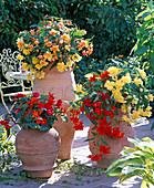 Begonia 'Illumination'/ Girlandenbegonien gelb, hellrot, apricot