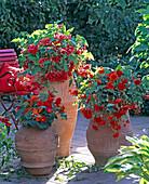 Begonia 'Illumination' / Girlandenbegonien rosa, orange, hellrot