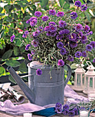 Centaurea cyanus / Kornblumen in Zinkgießkanne