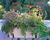 Thymus / Thymian, Salvia 'Icterina' / Salbei