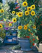 Helianthus 'Prado Gold' - 'Teddybär' / Sonnenblumen