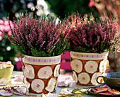 Calluna 'Annette' (knospenblühende Sommerheide), Töpfe dekoriert mit Malus (Apfe