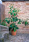 Persea americana / selbstgezogene Avocado
