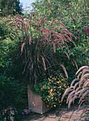 Pennisetum 'Rubrum' / rotes Federborstengras