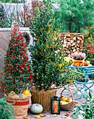 Ilex aquifolium 'Alaska' - Bacciflava' / Stechpalmen, mit roten und gelben Früch