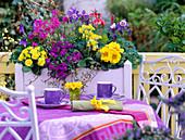 Aquilegia 'Spring Magic' / Akeleien, Primula Belarina 'Butter Yellow', Primula