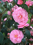 Camellia 'Spring Festival' (rosa Kamelienblüte)