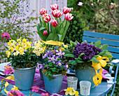 Tulipa 'Lustige Witwe' (Tulpen), Erysimum (Goldlack)