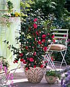 Camellia japonica (Kamelie), Hedera (Efeu)