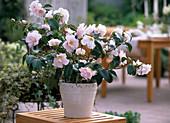 Camellia japonica 'Berenice Boddy' (Kamelia)