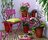 Camellia jap. (Kamelie), Myosotis (rosa Vergißmeinnicht)